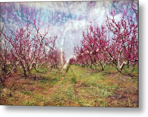 An Orchard In Blossom In The Golan Heights Metal Print featuring the photograph An Orchard In Blossom In The Golan Heights by Dubi Roman