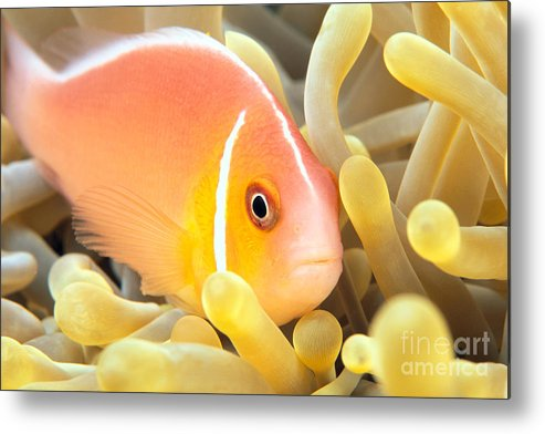 30-pfs0127 Metal Print featuring the photograph Anemone, Close-up by Dave Fleetham - Printscapes