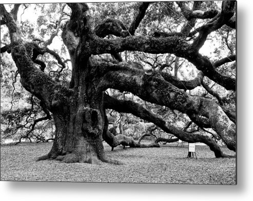 Nature Metal Print featuring the photograph Angel Oak Tree 2009 Black And White by Louis Dallara