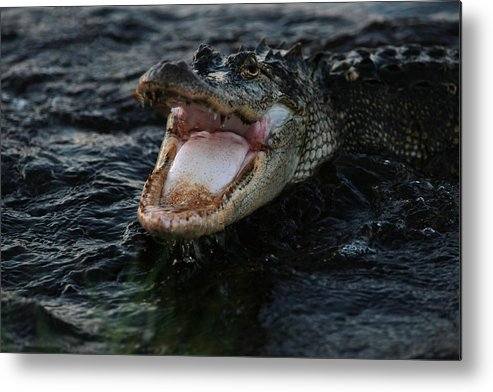 Alligator Metal Print featuring the photograph Angry Gator by James Jones