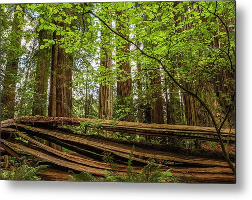 Redwoods Metal Print featuring the photograph Another Split Redwood by George Herbert