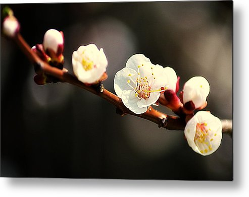 Art Metal Print featuring the photograph Apricot Flowers by Joan Han