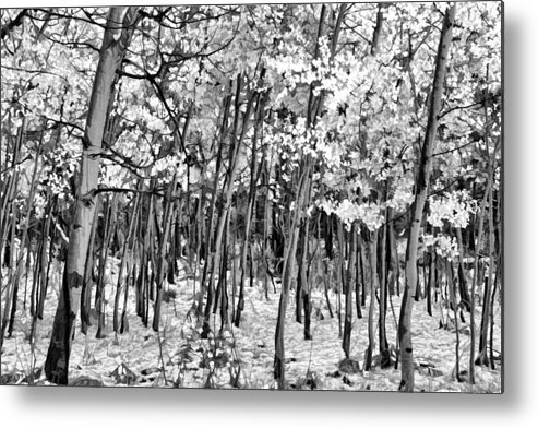 Aspen In Snow B&w Metal Print featuring the photograph Aspen In Snow Black And White by Wes and Dotty Weber