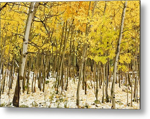 Aspen In Snow Metal Print featuring the photograph Aspen In Snow by Wes and Dotty Weber