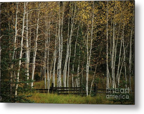 Landscape Metal Print featuring the photograph Aspens In The Fall by Timothy Johnson
