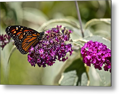 Butterfly Metal Print featuring the photograph Attraction by Diana Hatcher