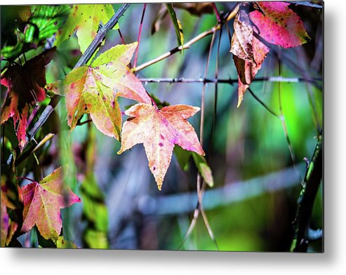 Autumn Metal Print featuring the photograph Autumn Color Changing Leaves On A Tree Branch by Alex Grichenko