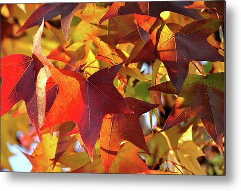 Tree Metal Print featuring the photograph Autumn Colors by Diamond Bitzer