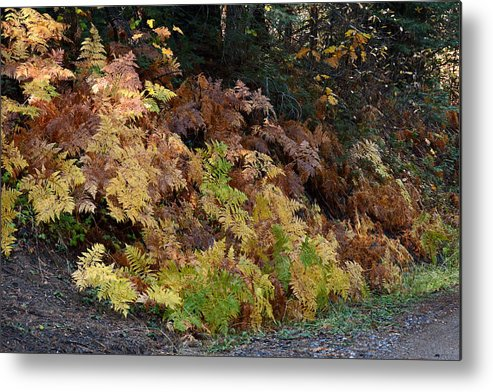 Fern Metal Print featuring the photograph Autumn Ferns by Michael Allred