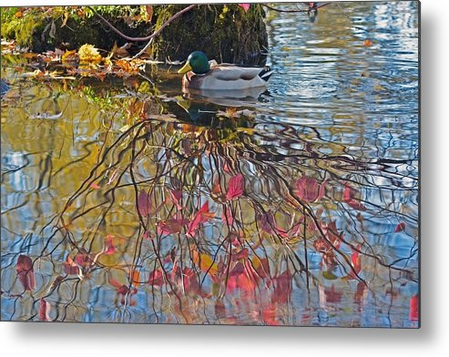 Duck Metal Print featuring the photograph Autumn Reflections by Asbed Iskedjian