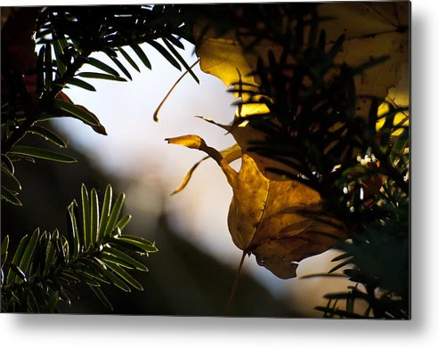 Evergreens Metal Print featuring the photograph Autumn Song by Ross Powell