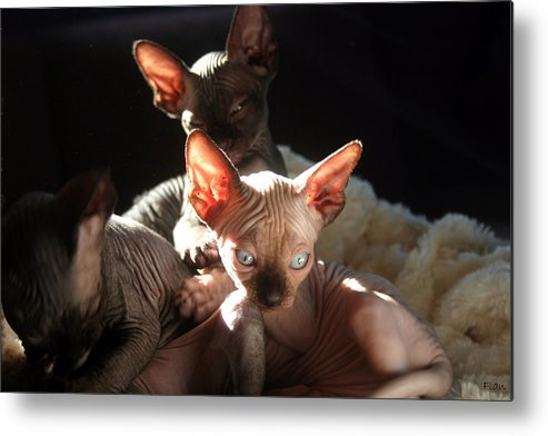 Photo Metal Print featuring the photograph Baby Sphynx Cats by Ruben Flanagan