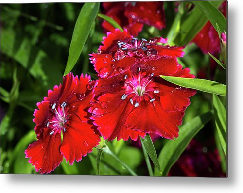 Dianthus Metal Print featuring the photograph Balancing Raindrops by Phyllis Denton