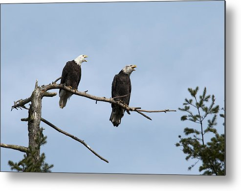 Bald Eagle Metal Print featuring the photograph Bald Eagle Perch by Chad Davis