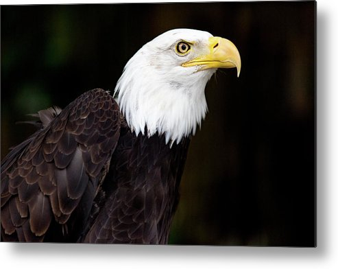 The Animal Metal Print featuring the digital art Bald Eagle - Pnw by Steve Owst