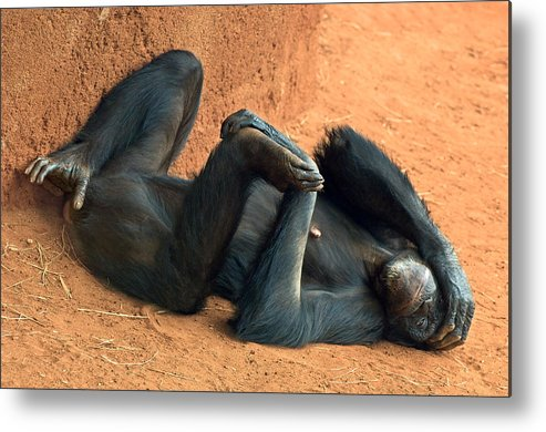 Chimpanzee Metal Print featuring the photograph Banana Punch by Marvin Rivera