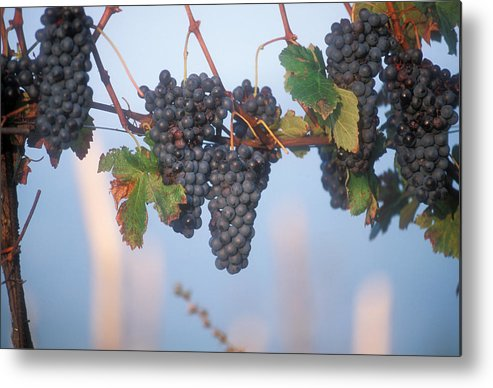 Italy Metal Print featuring the photograph Barbera Grapes Ready For Harvest South by Michael S. Lewis