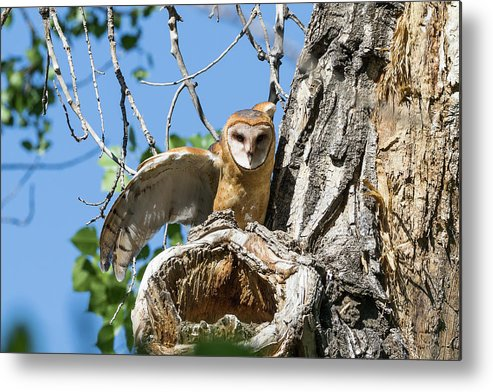 Barn Owl Metal Print featuring the photograph Barn Owl Owlet Stretches by Tony Hake