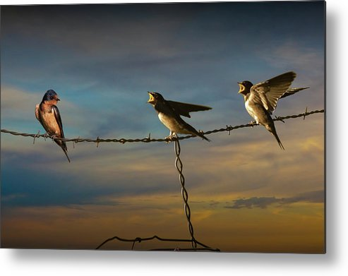 Swallow Metal Print featuring the photograph Barn Swallows On Barbwire Fence by Randall Nyhof