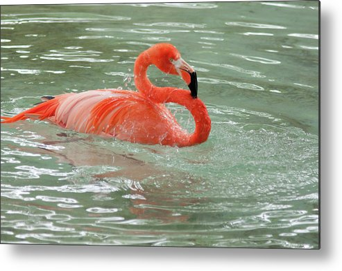 Pink Flamingo Bird Aves Red Feathers Long Neck Water Bathing Pon Metal Print featuring the photograph Bath Time 2 by Craig Hosterman