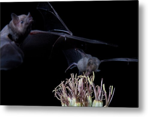 Nature Metal Print featuring the photograph Bats At Work by E Mac MacKay