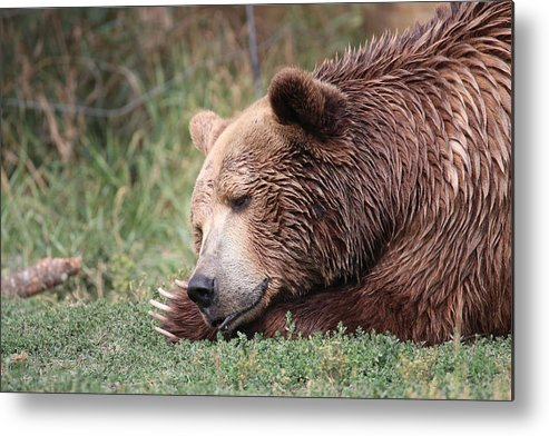 Grizzly Metal Print featuring the photograph Bear Sleeping by Tammy Crawford