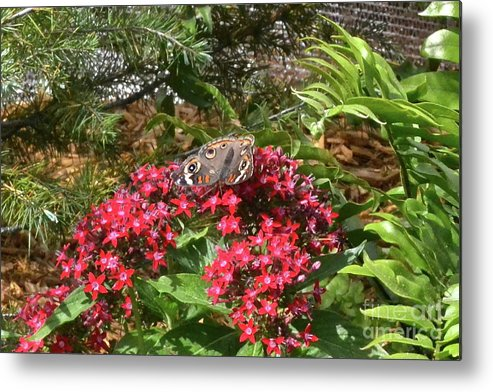 Butterfly Metal Print featuring the photograph Beautiful Buckeye by Carol Bradley