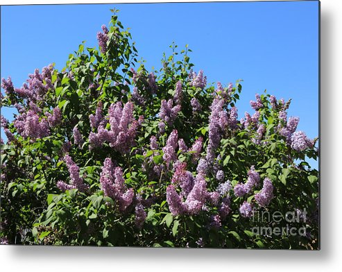 Lilacs Metal Print featuring the photograph Beautiful Lilacs Day by Carol Groenen