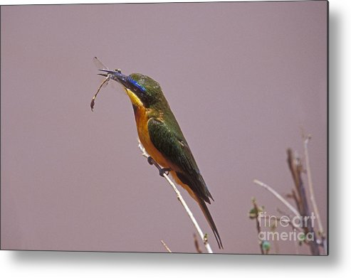 African Birds Metal Print featuring the photograph Bee Eater And Dragonfly by Sandra Bronstein
