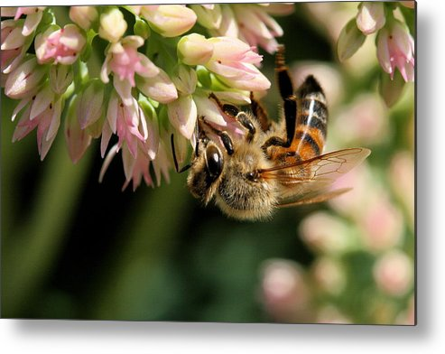 Bee Metal Print featuring the photograph Bee On Flower 1 by Angela Rath