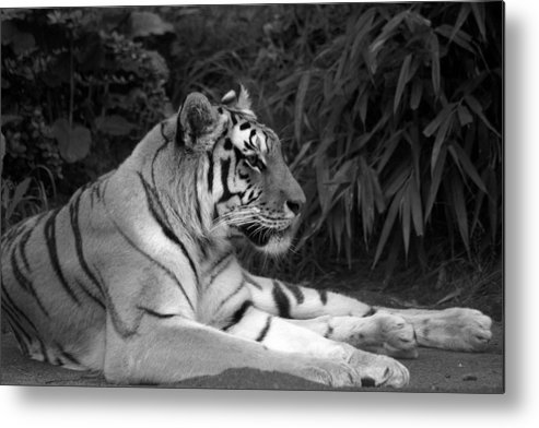 Zoo Metal Print featuring the photograph Bengal Tiger by Sonja Anderson