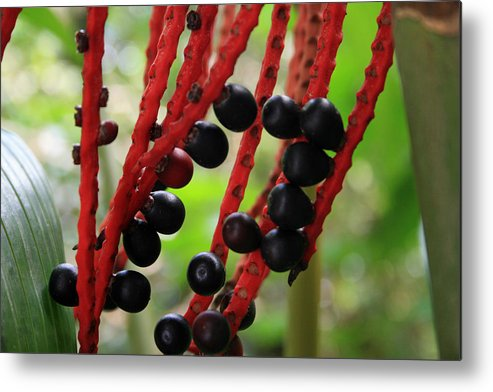 Berries Metal Print featuring the photograph Berries by Chuck Wedemeier