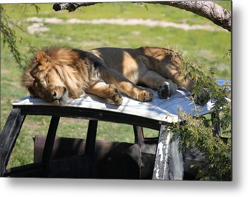 Lion Taking A Nap On Top Of A Land Rover. Metal Print featuring the photograph Big Cat Nap by Cory Bykoski