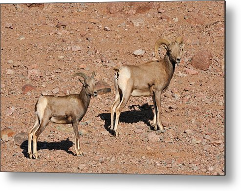 Big Metal Print featuring the photograph Big Horn Sheep by Tom Dowd