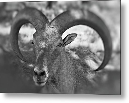 Antelope Metal Print featuring the photograph Bighorn by Douglas Barnard