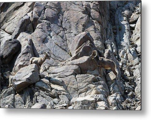 Bighorn Sheep Ram Metal Print featuring the photograph Bighorns Romantic Stare by Colleen Cornelius