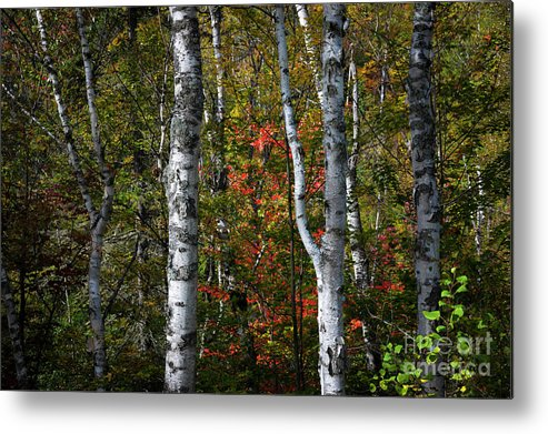 Birch Metal Print featuring the photograph Birches by Elena Elisseeva