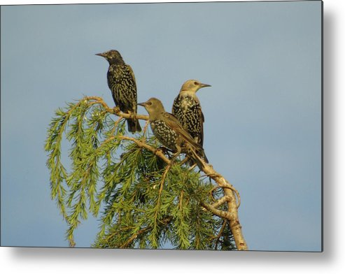 Three Metal Print featuring the photograph Birds-on-watch by Gordon Auld
