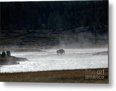 Bison Metal Print featuring the photograph Bison In The River by Cindy Murphy - NightVisions
