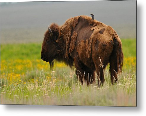 Bison Metal Print featuring the photograph Bison With Cowbird On Back by Alan Lenk