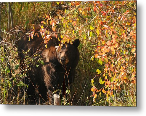 Bears Metal Print featuring the photograph Black Bear by Greg Payne