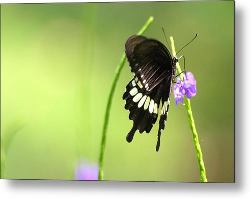 Insect Metal Print featuring the photograph Black Butterfly by Mark Mah