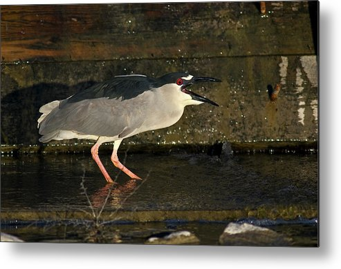 Catch Metal Print featuring the photograph Black Crowned Knight Heron by Earl Nelson