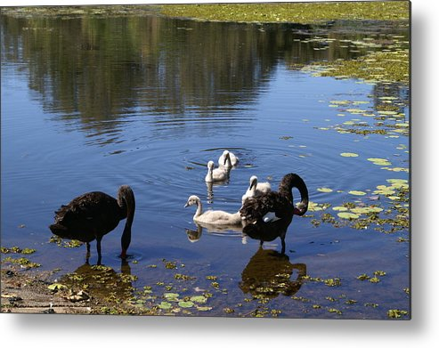 Bird Metal Print featuring the photograph Black Swan's by Brian Leverton