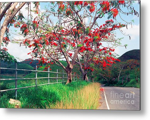 Along The Road Metal Print featuring the photograph Blooming Flamboyan Trees Along A Country Road by George Oze