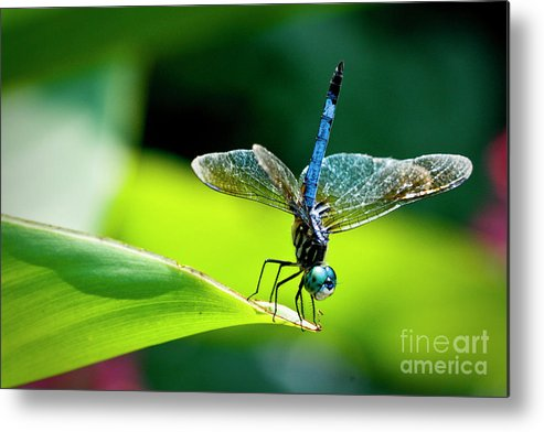 Dragonfly Metal Print featuring the photograph Blue Dragon II by Taylor C Jackson