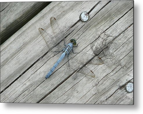 Dragonfly Metal Print featuring the photograph Blue Dragonfly by Kathy Schumann