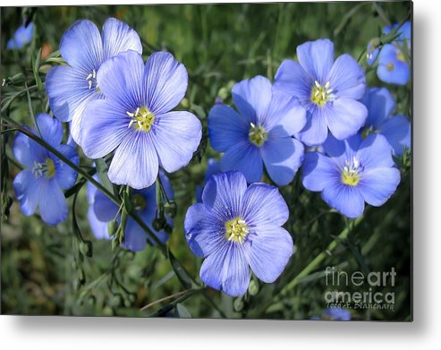 Flowers Metal Print featuring the photograph Blue Flowers In The Sun by Todd Blanchard
