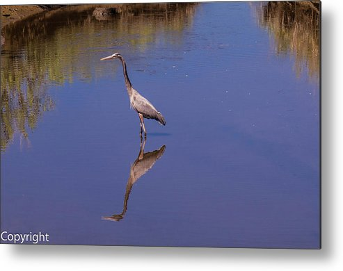 Birds Metal Print featuring the photograph Blue Herron Reflection by William Randolph