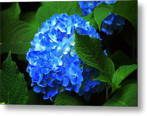 Flower Metal Print featuring the photograph Blue Hydrangea by Joy Hiott